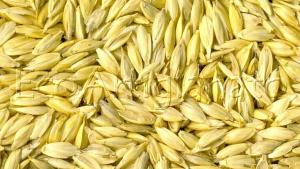 6kg Pula di Farro Biologica varietà Triticum Dicoccum (Prima Scelta)