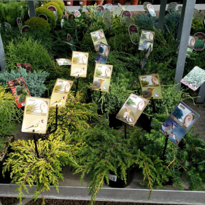 Agricola Home & Garden Conifers In Variety '20-25 Cm