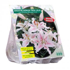 Baltus Oriental Lilium Muscadet 3 Spare Bulbs From Flower Seeds In Spring