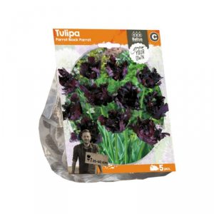 Baltus Tulipa Parrot Black Parrot Flower Bulbs In Format Bag