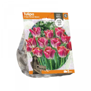 Baltus Tulipa Crispa Sunset Miami Flower Bulbs In Format Bag