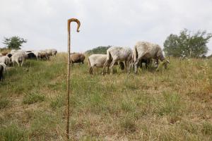 Bastone per sheepdog