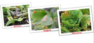 Gethiol Allium Kg 1,3