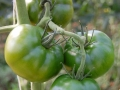 Pomodoro Tondo Verde - Confezione da 500gr