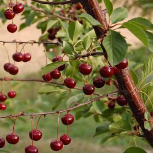 Vino di Visciola - Il Rubino del Duca - 75cl