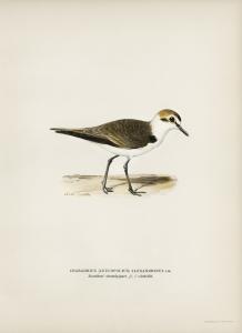 Stampa antica ornitologica 2