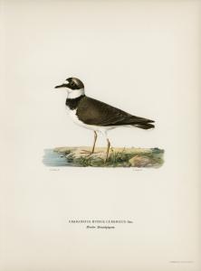 Stampa antica ornitologica 3