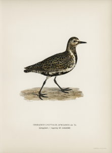 Stampa antica ornitologica 5