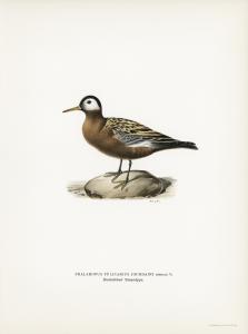 Stampa antica ornitologica 7