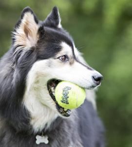 Kong - AirDog Squeaker Tennis Ball - S
