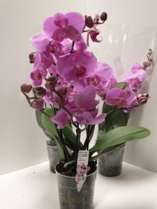 ORCHIDEA PHALENOPSIS 'SWIFT' V.12