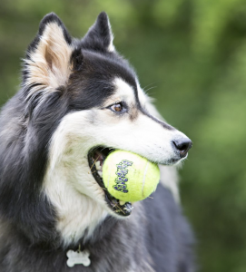 Kong - AirDog Squeakair Tennis Ball - M