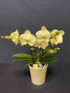Orchidea Phalaenopsis Tablo 2/3 rami