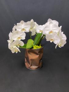 Orchidea Phalaenopsis con coprivaso Bidone Design